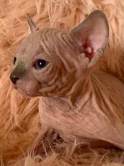 Sphynx Davon Rex Kitten