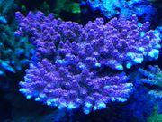 Korallen Meerwasser SPS Acropora