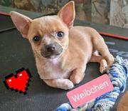 Lieblingswelpen Chihuahuas