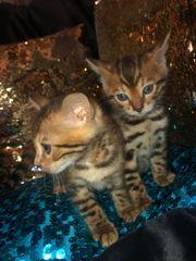 Kitten Kätzchen Bengal reinrassig Abgabe