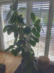 gummibaum zu verschenken