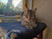Kleiner Tiger Harley möchte sein