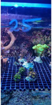 Korallenableger SPS LPS Weichkorallen