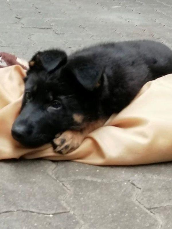 Reinrassige Schäferhundwelpen Hündin in Morsum Hunde