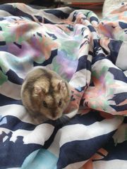 Dsungarischer Zwerghamster- Hamster