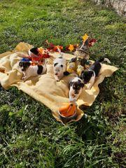 Verkaufe Jack Russel Terrier Welpen