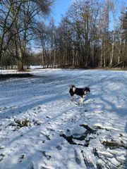 Deckrüde Siberian Husky reinrassig schwarz-weiß blauäugig