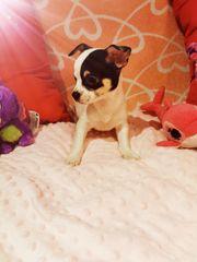 Zauberhafte und sehr typvolle Chihuahua