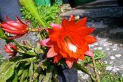 Disocactus ackermannii Rot-blühend