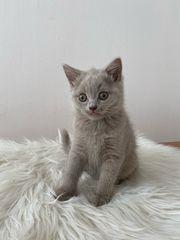 Katzenbaby Kater Lilac Kitten