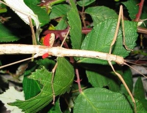 rot geflügelte Stabschrecke