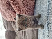 BKH Kurzhaar Kitten