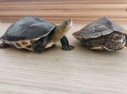 Streifenschildkröte und Höckerschildkröte mit Aquarium
