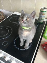 BKH Kitten Britisch Kurzhaar Tortie -