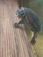 Moschusschildkröte weiblich
