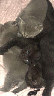 schwarze bkh mix kitten