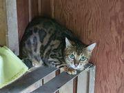 2 wunderschöne Bengalkatzen suchen neues