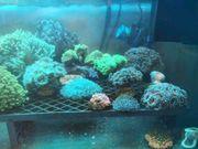 Meerwasser Ableger ab 5