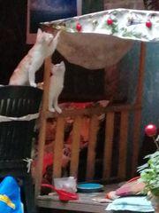 Wunderschönes rotbraun gestreiftes Kätzchen in