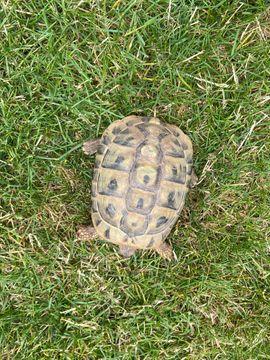 Griechische Landschildkröten Trio: Kleinanzeigen aus Schwanheim - Rubrik Reptilien, Terraristik