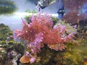 Skorpionsfisch Schaukelfisch Rhinopias Meerwasser