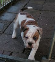 oeb old english Bulldog