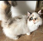 wunderschönes Perser Kätzchen tricolor