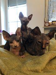 4 Canadian-Sphynx Kitten suchen ein