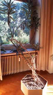 Drachenbaum sehr hübsch