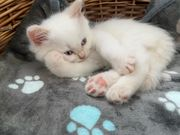Süße BKH Britisch Kurzhaar Kitten