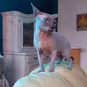 Katzen Sphinx