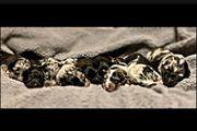 Austrailian Shepherd Schäferhund mix Welpen