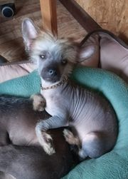Chinese crested rödel nackt