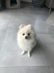 Pomeranian Deckrüde erfahrener Kein Verkauf