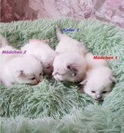Neva Masquarade Katzenbabys