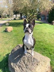 Boston Terrier Deckrüde