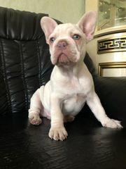 Französische Bulldogge Welpen Creme Rüber