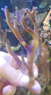 Meerwasser Stylophora Milka lila SPS