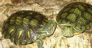 Junge Rotwangen-Schmuckschildkröten