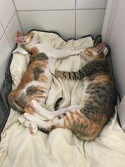 junge Katzen Arielle und Marie