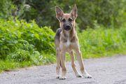 Schäferhund 4mon Rüde