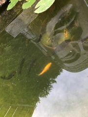 Kois Teichfische Fische aus eigenem