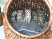 Scottish fold kitten Schottische Knickohr