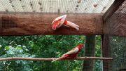 Prachtrosella Rubino