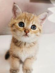 Reinrassige wunderschöne BKH Kitten 4