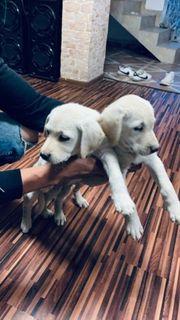 Labrador reinrassiger Ein Hund und