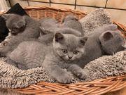 BKH Kätzchen Kitten