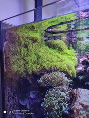 Röhrenkorallen Meerwasser