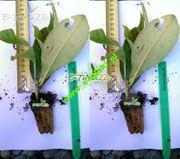 Lorbeerkirsche Rotundifolia 20 cm Dünger