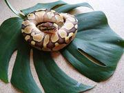VERKAUFT Königspython python regius Butter